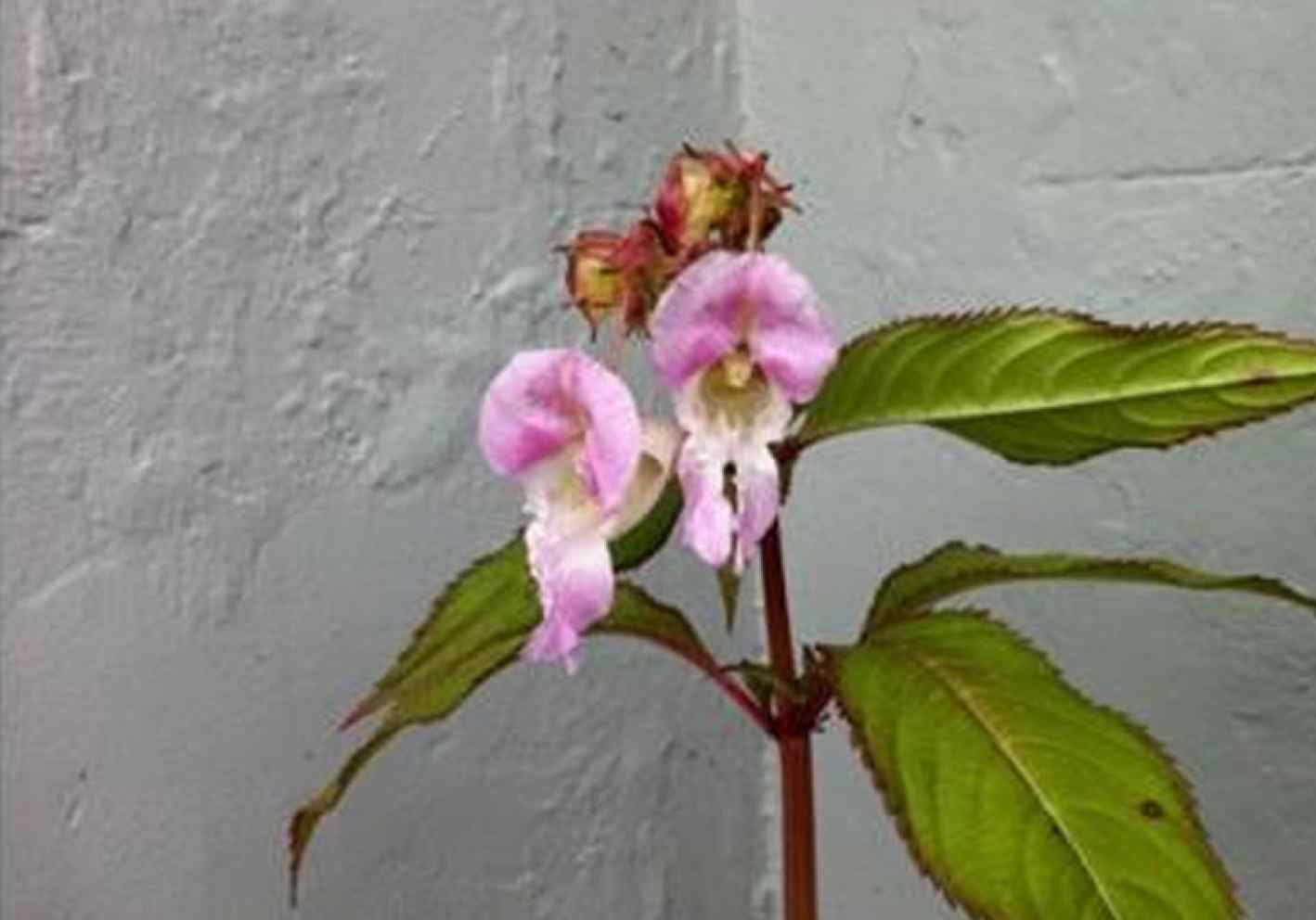 LET NO PLANT GO TO SEED! Help us remove the Himalayan balsam