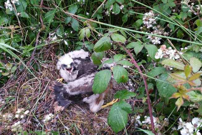Nest site in Mullaghareirks, July 2016